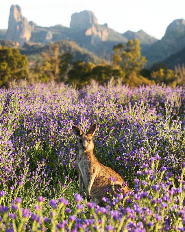 Kangaroo staring at the photographer in Warrumbungle National Park.