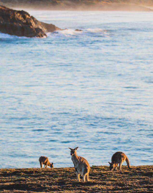 Kangaroos on Emerald Beach in Coffs Harbour