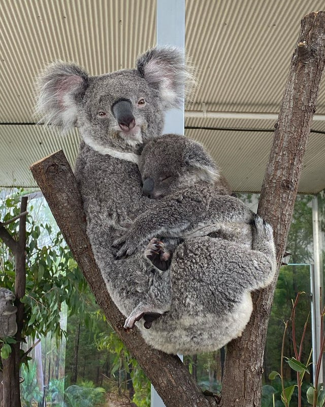 Koala's at Wild Life Sydney Zoo in Darling Harbour.