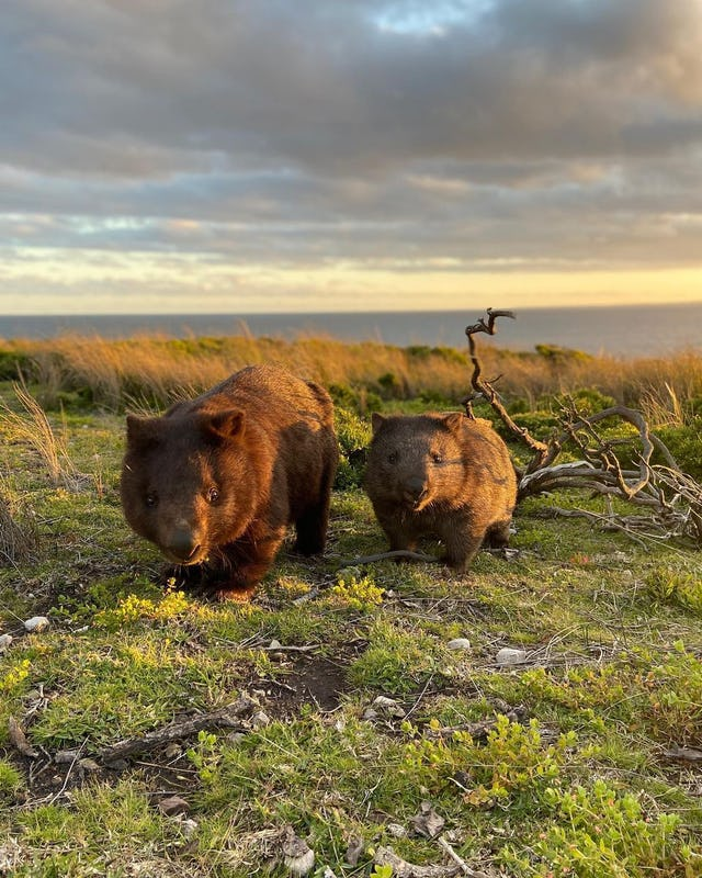 Wombats exploring Green Cape Lighthouse in Eden.