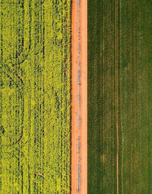 The vibrant golden canola fields in Sebastopol, Temora Shire.
