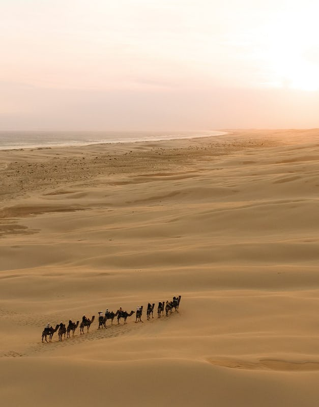 Camels walking on the sand dunes in Anna Bay, Port Stephens