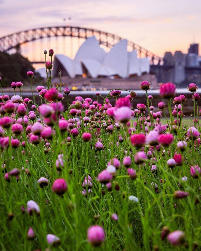 Sydney Harbour Bridge in backfrop with flowers in the foreground at The Royal Botanic Garden, Sydney.