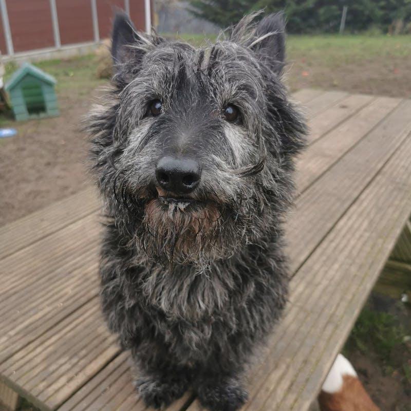 Pumba scottish terrier