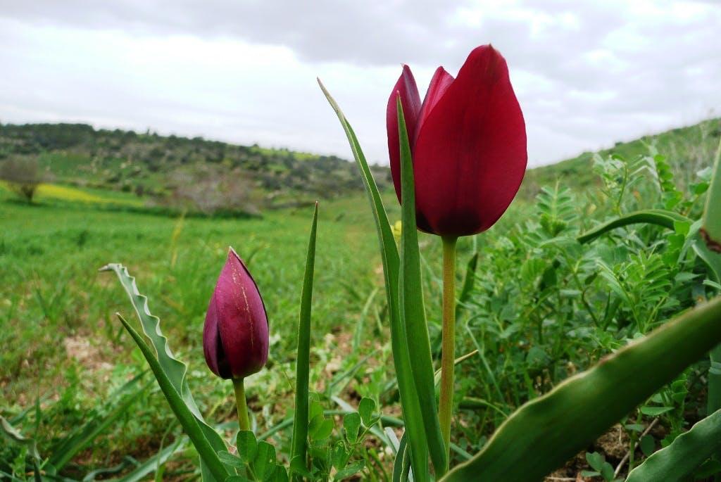 Tulipa cypria