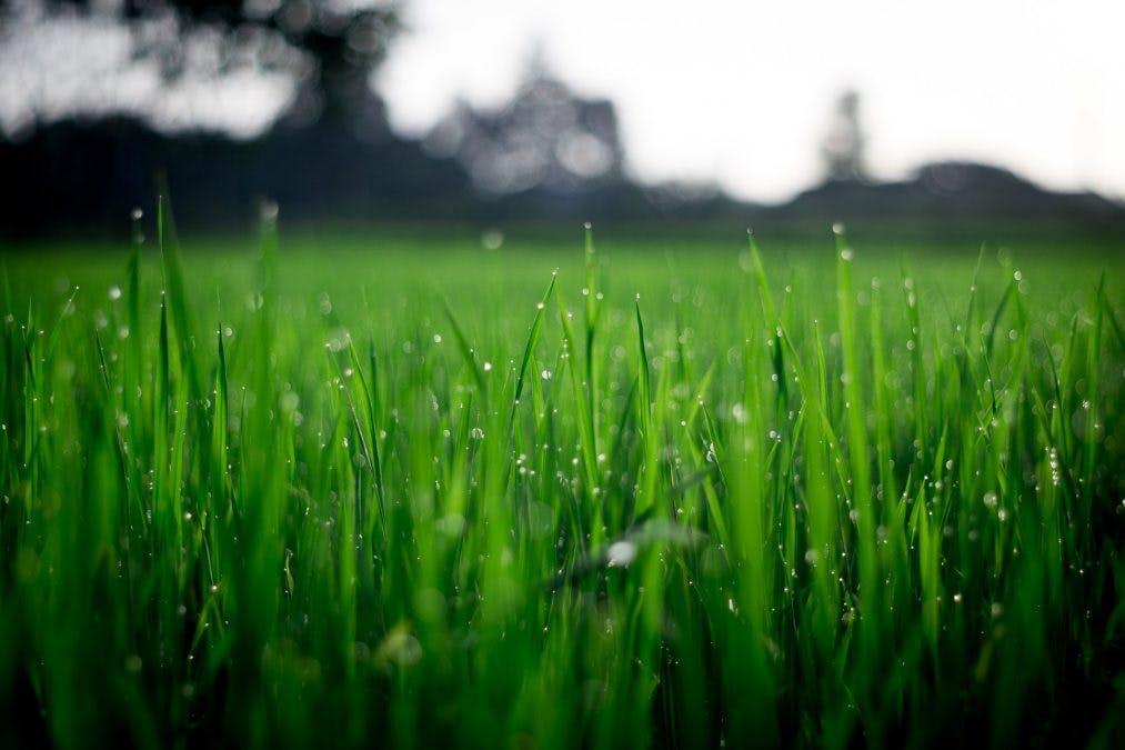 Aamukasteinen nurmikko