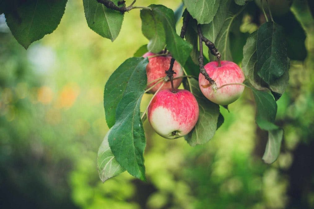 Omenoita omenapuussa