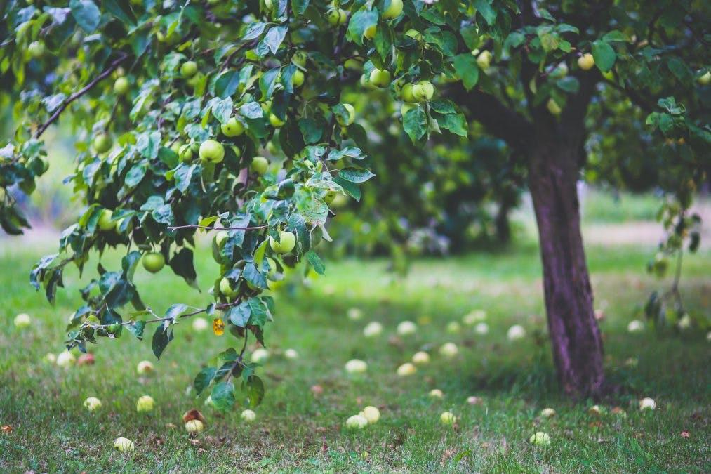 Omenoita maassa omenapuun alla