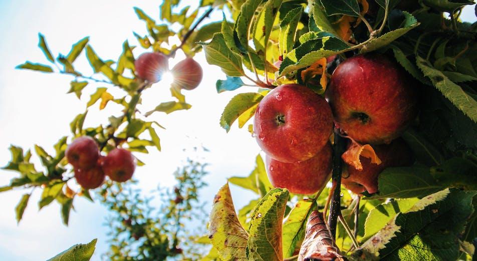 Omenapuun leikkaus - näin leikkaat oikein
