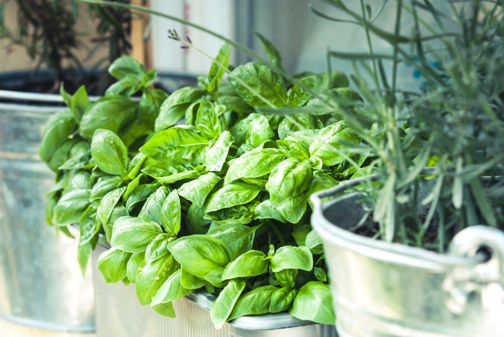 Plante aromate