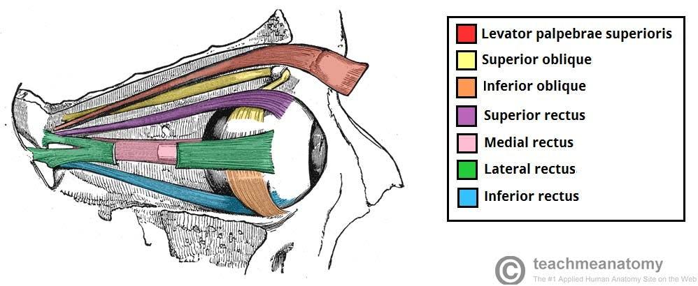 Eyeball structure.