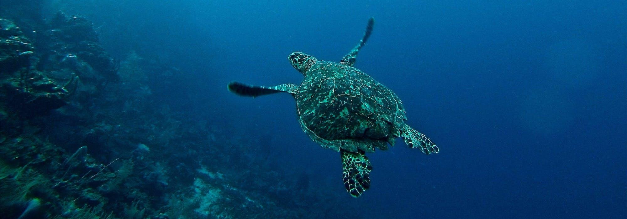 En sköldpadda glider fram under vattnet till höger om ett korallrev.