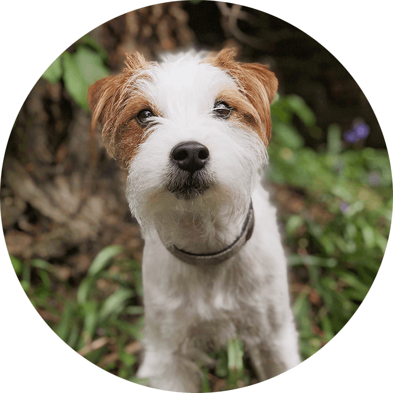 Claude the Parsons Jack Russell