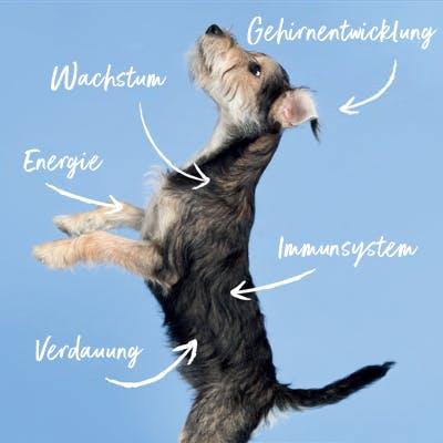 Bear, ein Tails.com Hund als Welpe. Beschriftet mit den Kernpunkten wie tails.com das Wachstum unterstützen kann. Zum Beispiel Wachstum, Gehirnentwicklung, Energielevel und Immunsystem.