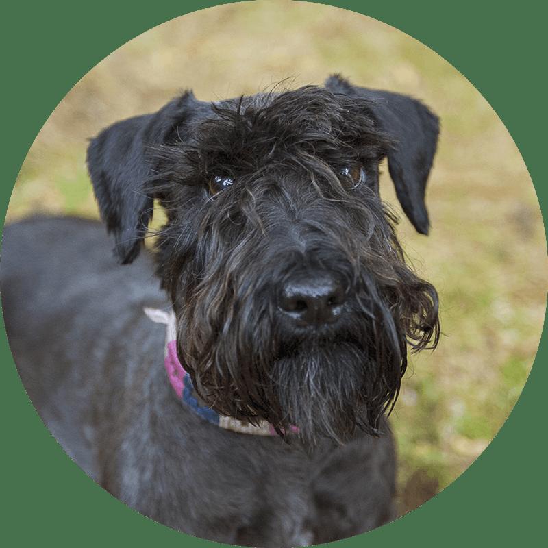Nala der Tschechische Terrier