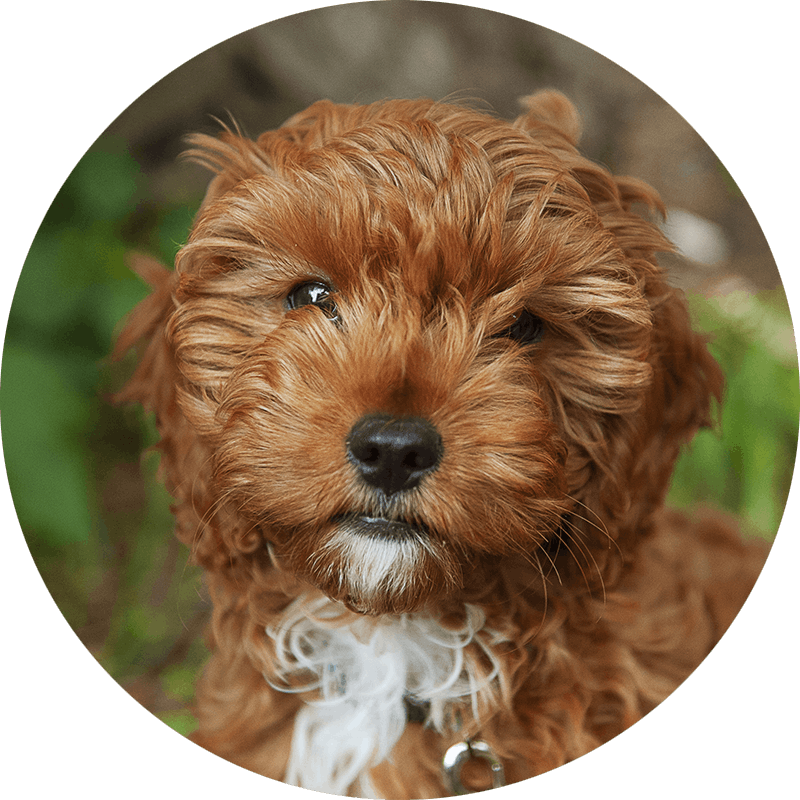 Elmo the Cavapoo