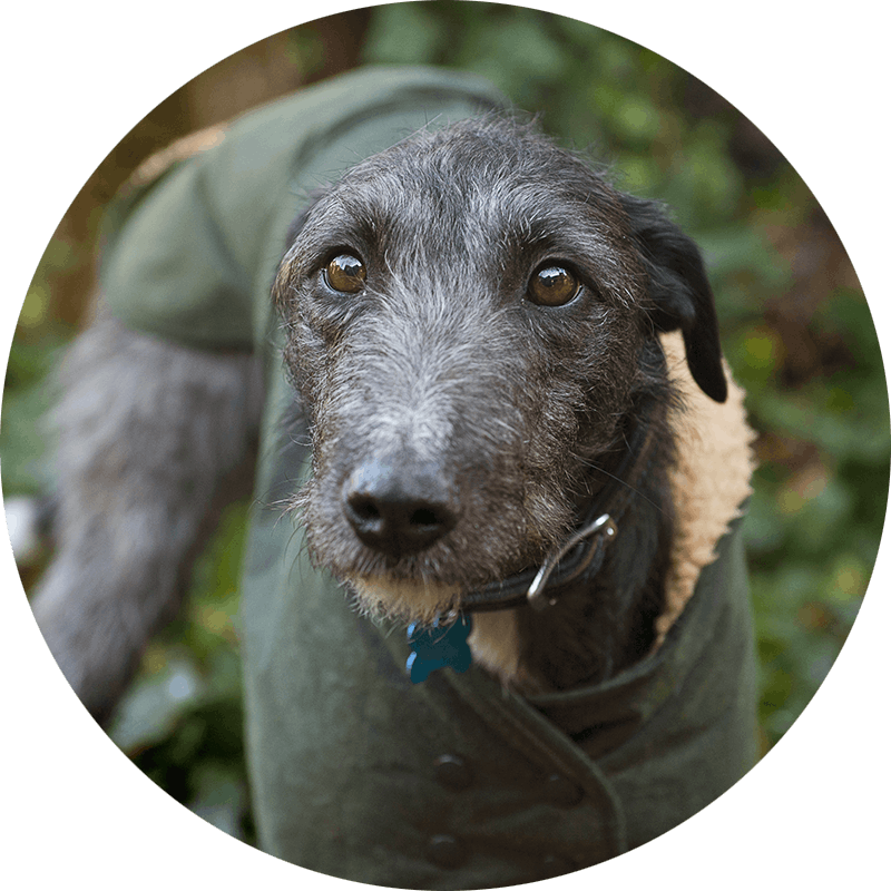 Blue the Lurcher