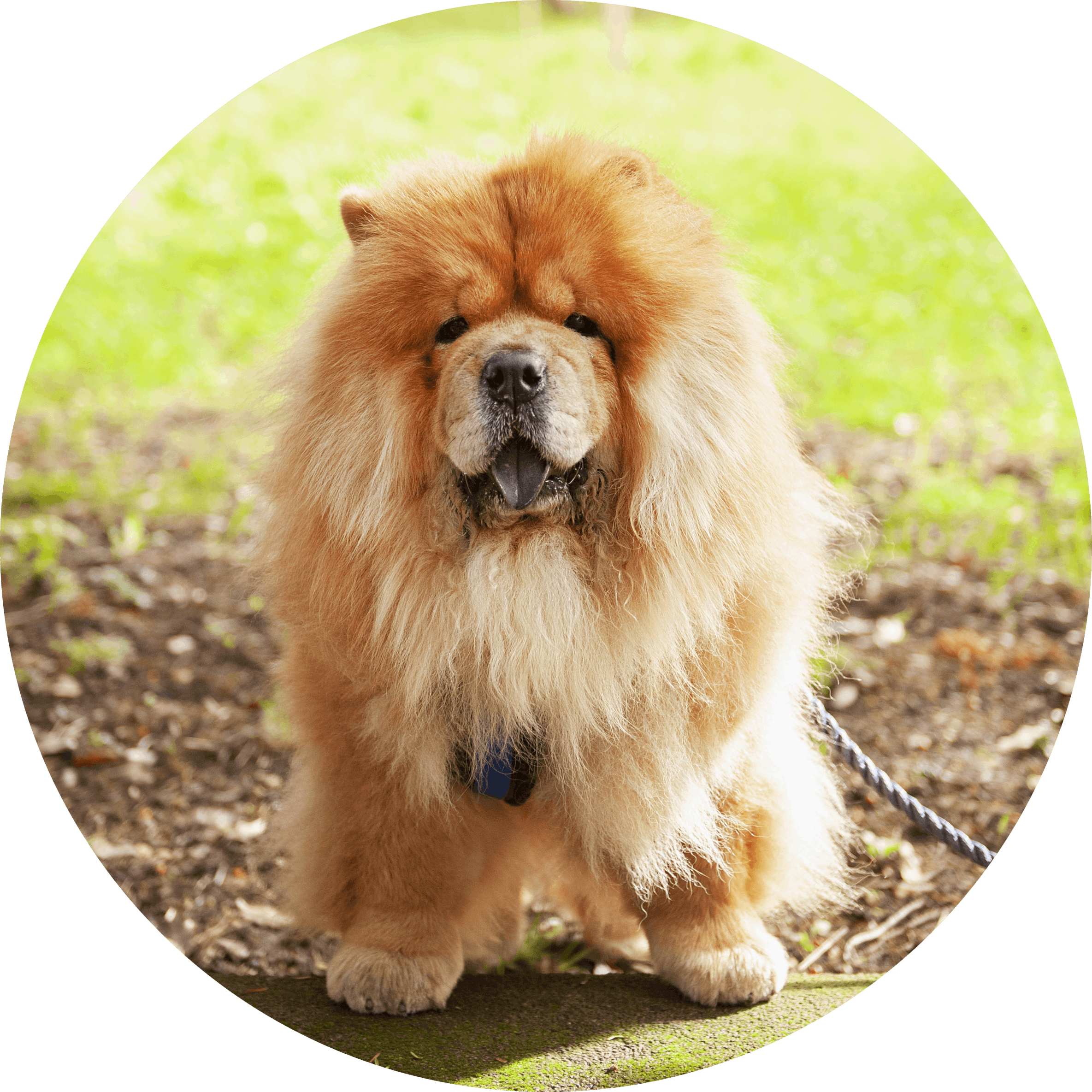 Clover the Chow Chow