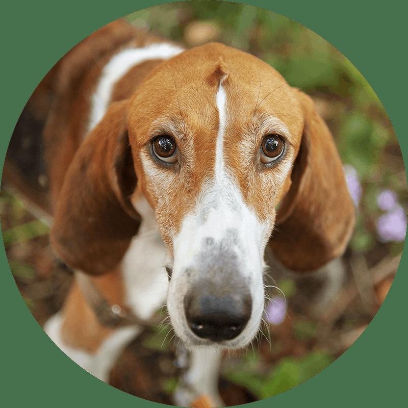 Lupin der American Foxhound