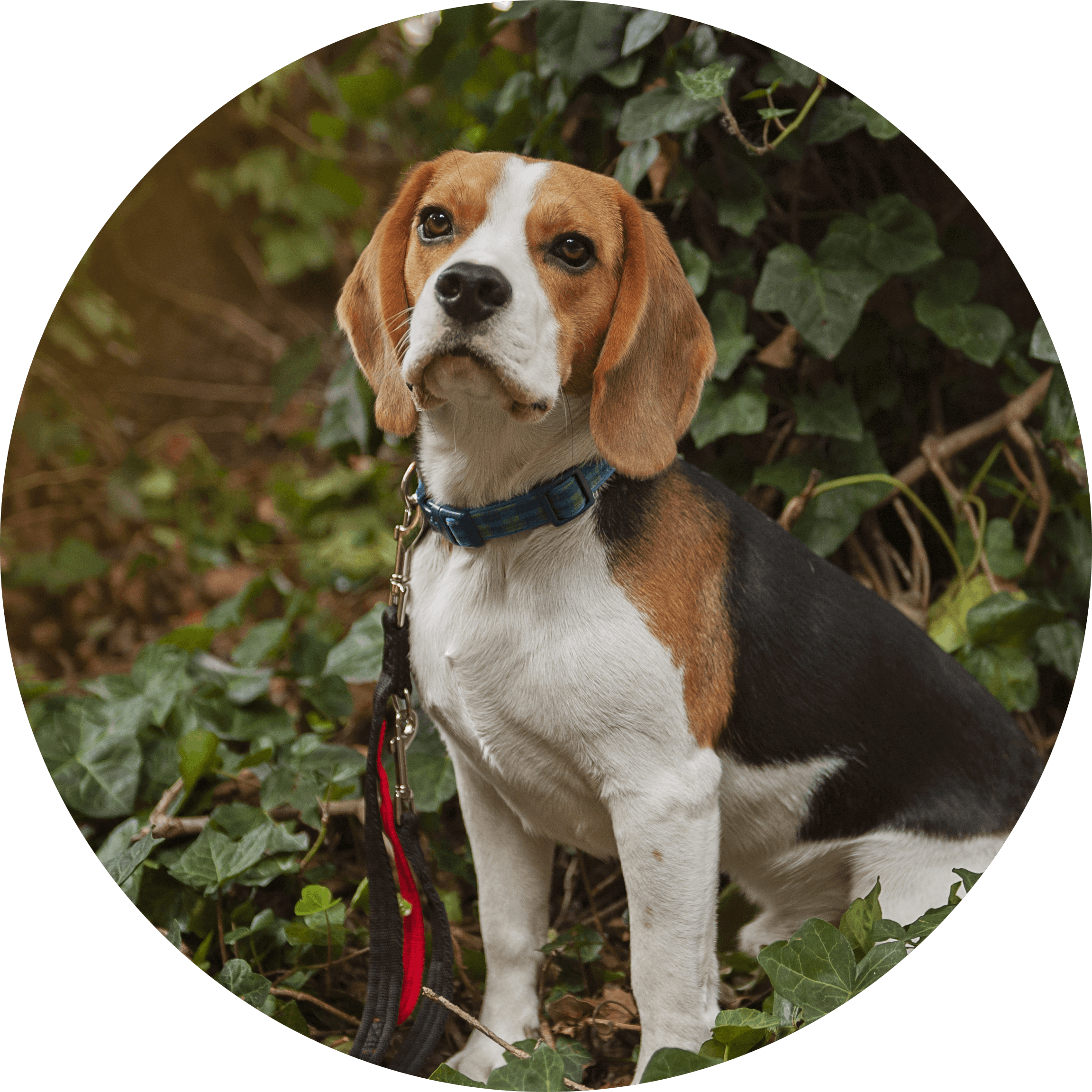 Balloo the beagle