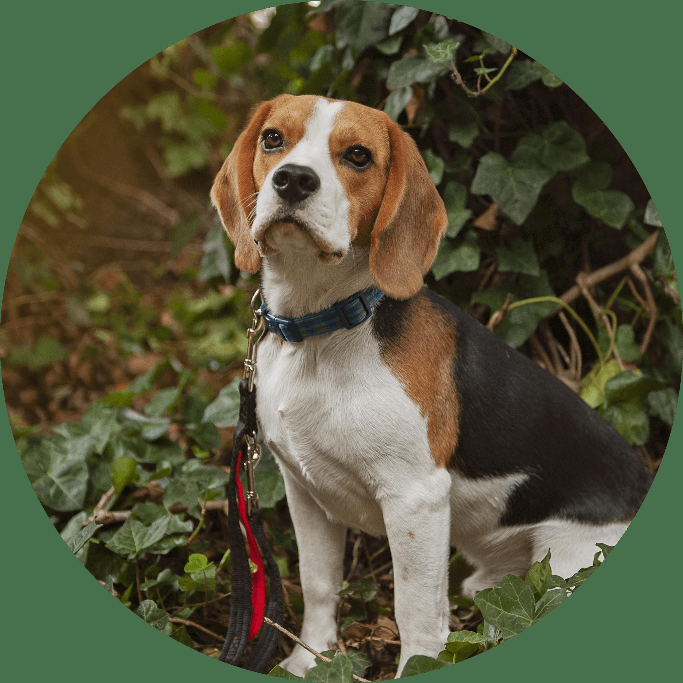 Balloo der Beagle