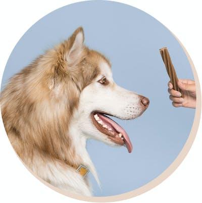 big dog with dental chew