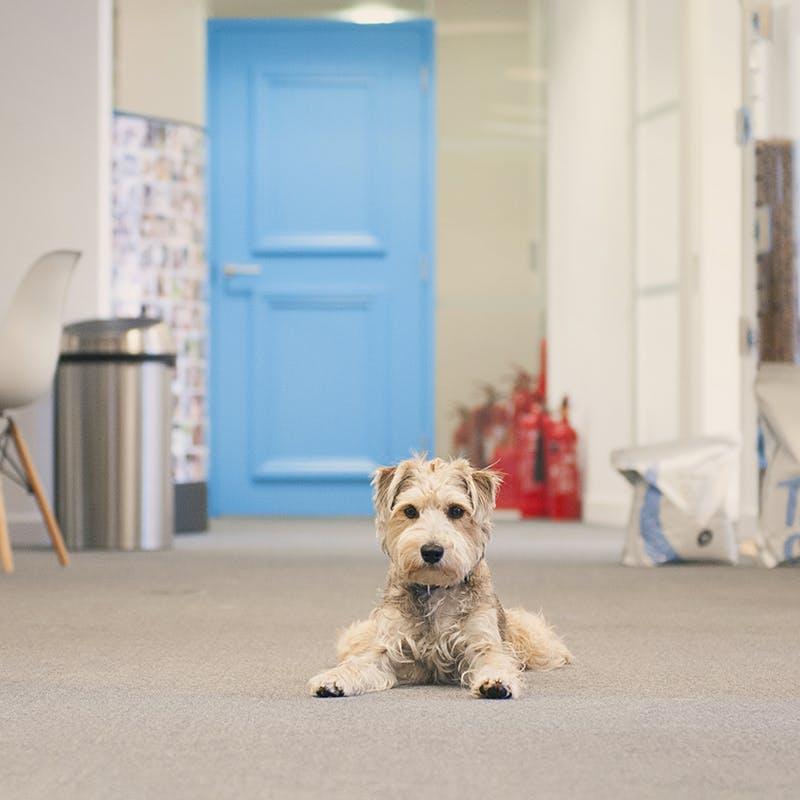Bear, einer unserer Bürohunde
