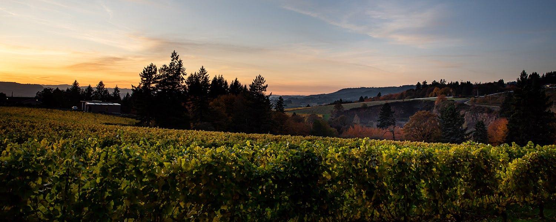 Vineyard view at sunset