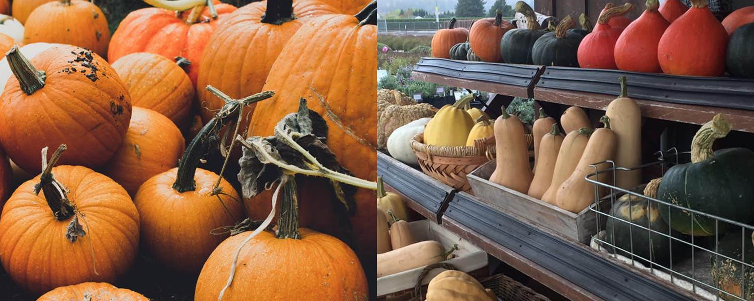 Pumpkins from Koch Family, and gourds from Chehalem Flats