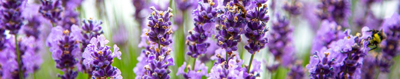 Wayward Winds Lavender Farm - Photo by Ron Miller ronmiller.com