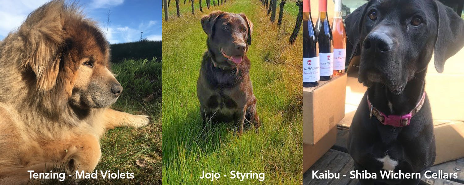 The winery dogs at Mad Violets, Styring, and Shiba Wichern Cellars