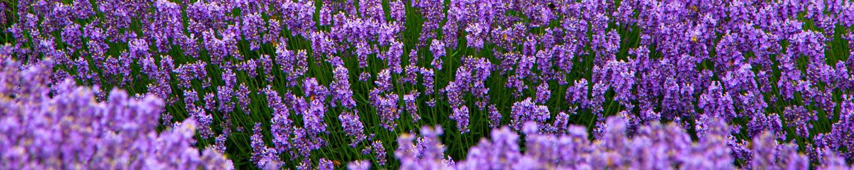 Wayward Winds Lavender Farm - Newberg - Photo by Ron Miller ronmiller.com