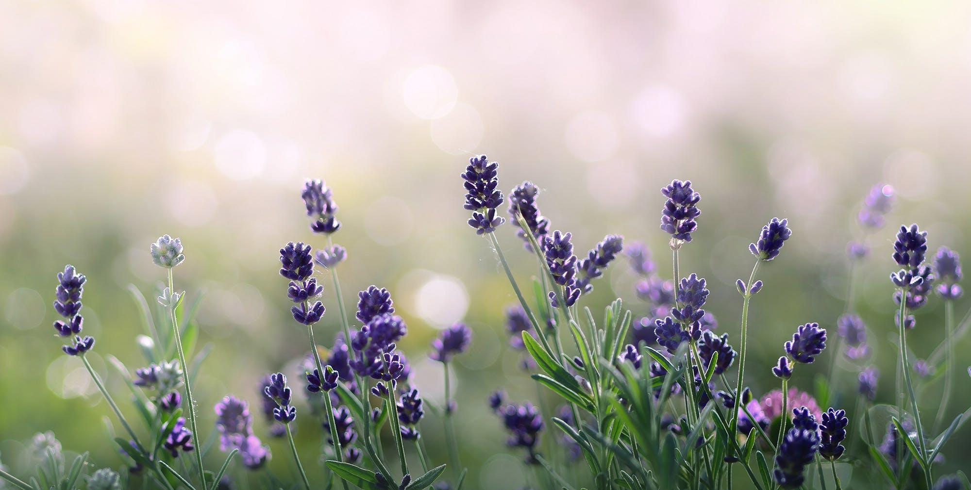 Lavender Picture - Taste Newberg - Newberg Oregon, Easy Portland Getaway