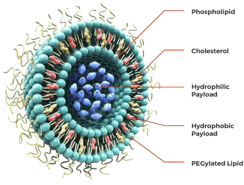 The structure of the liposome, Data source: precisionnanosystems