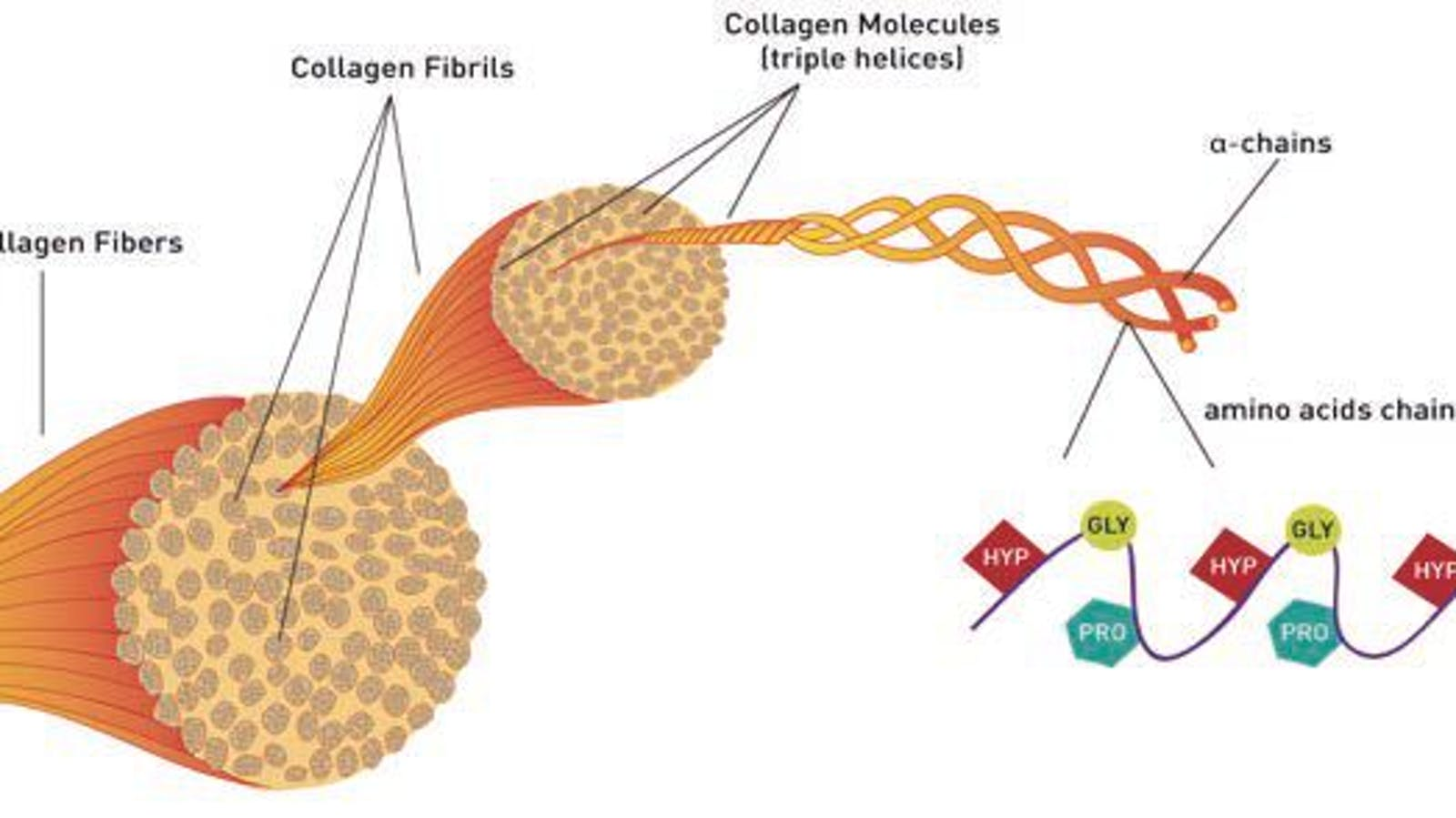 Basic information of Collagen & Source of Collagen Supplements