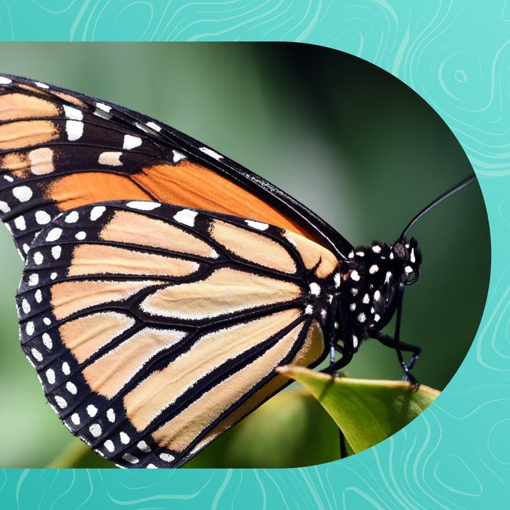 Monarch Butterfly Population Dwindles, But I Remain Optimistic