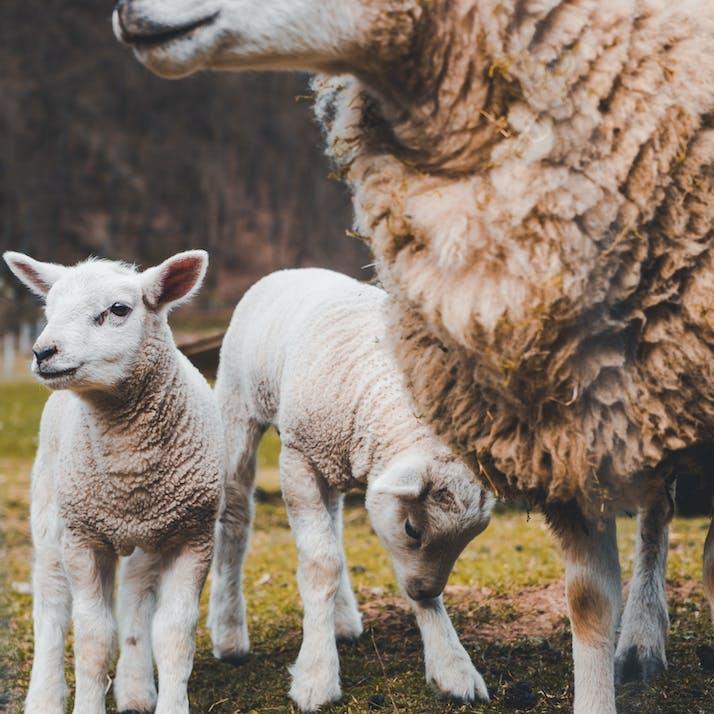 Lambs graze