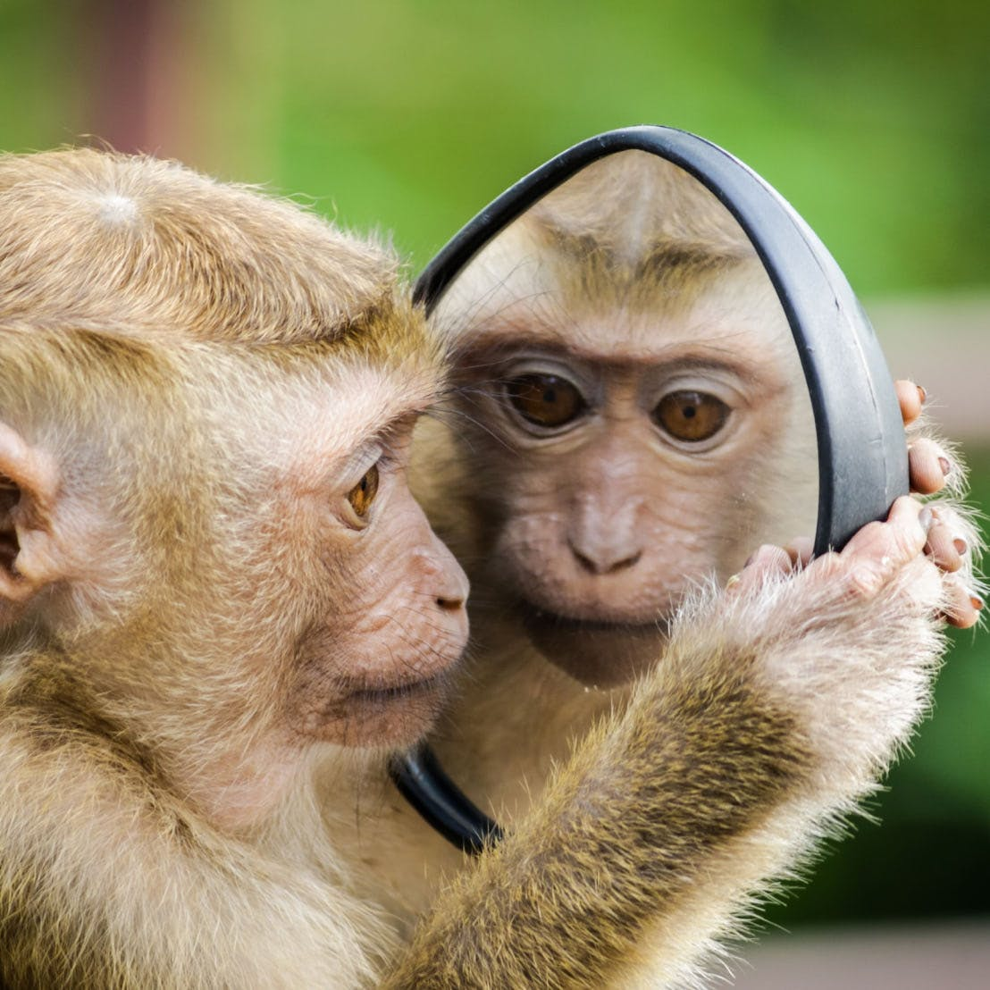 A monkey looks at their reflection in a mirror.