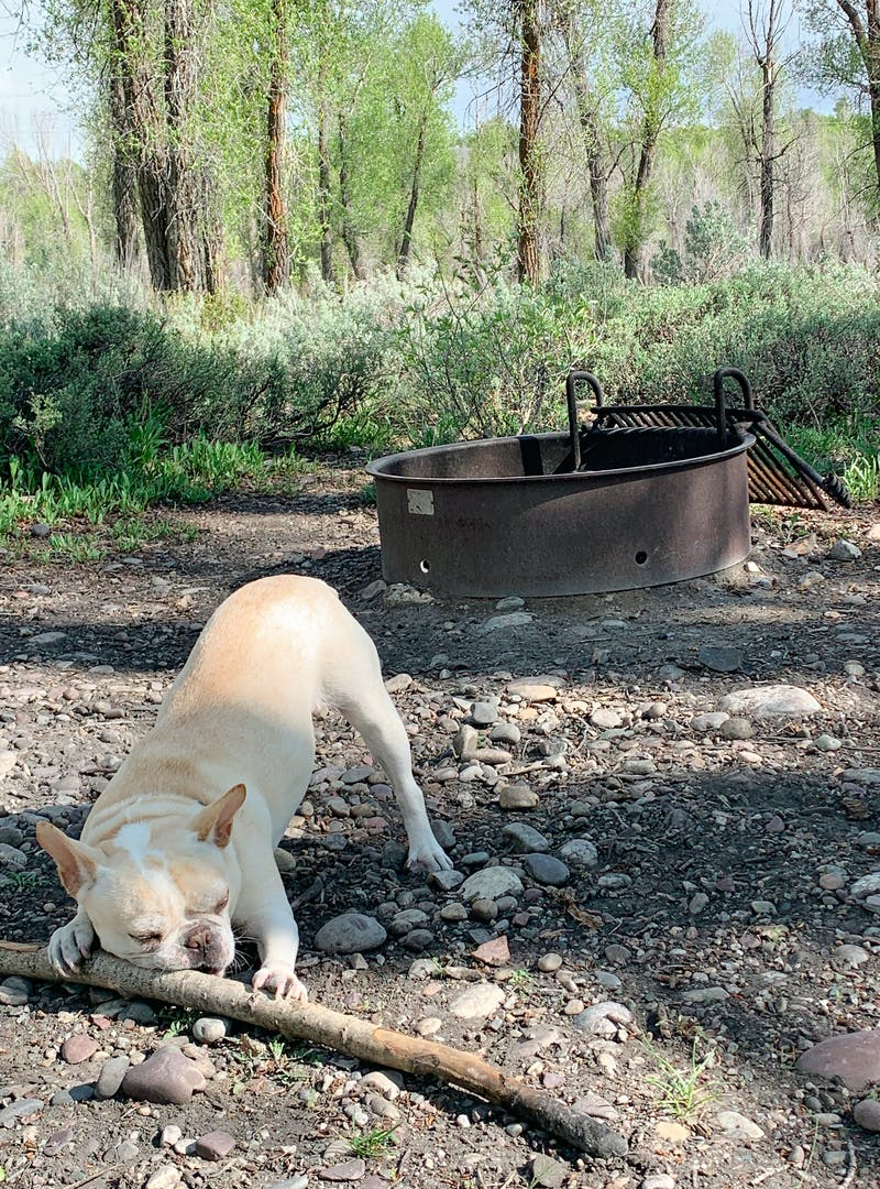 A dog chews on a stick at a campground.