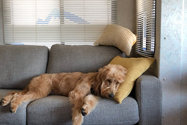 A sleepy goldendoodle resting on a couch with her head on a pillow.