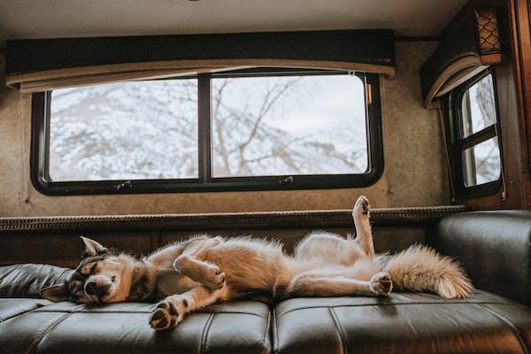 A cute husky asleep on his back on an RV couch.