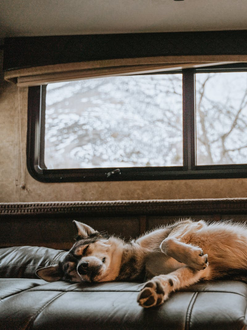 A cute husky asleep on his back on an RV couch.