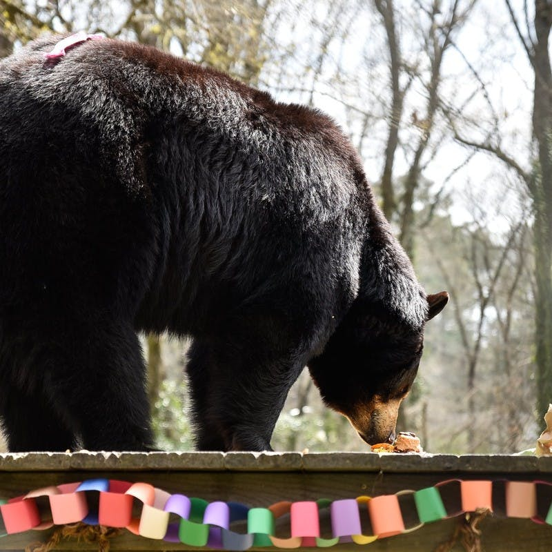 Large black bear at Bear Hollow Zoo in Athens, Georgia, sniffing food on the ground, surrounded by trees.