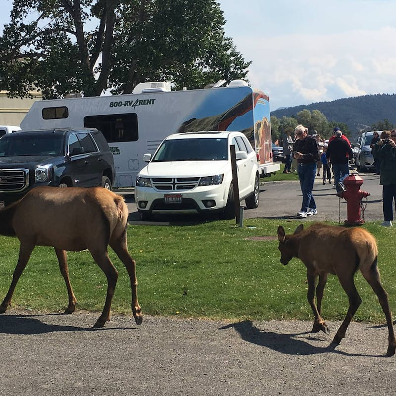 Two elk wander through a parking lot in front of cars and people.