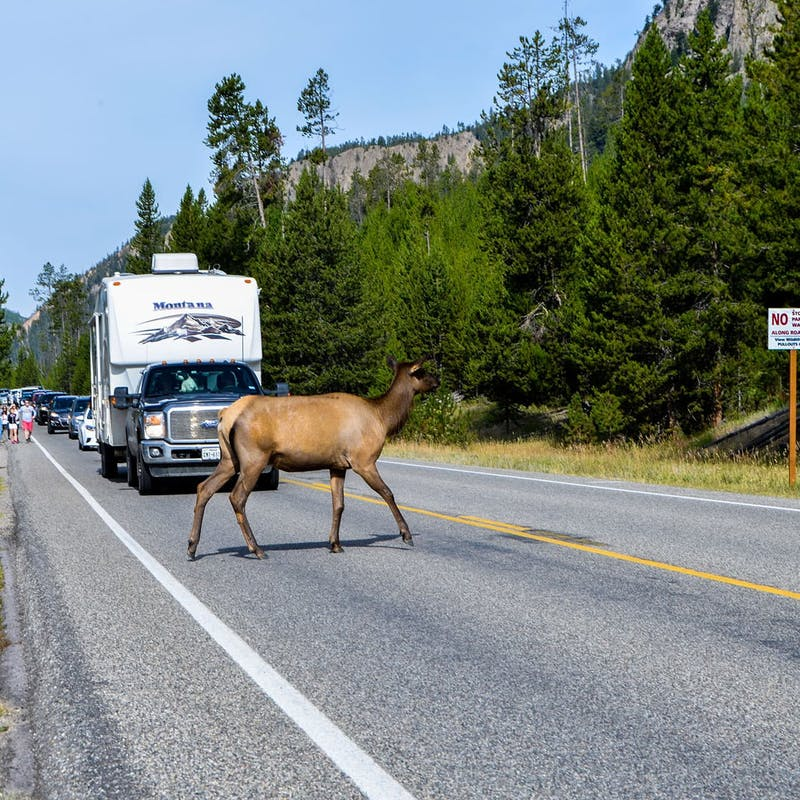 Elk crossing a road in front of an towable RV in Yellowstone National Park.