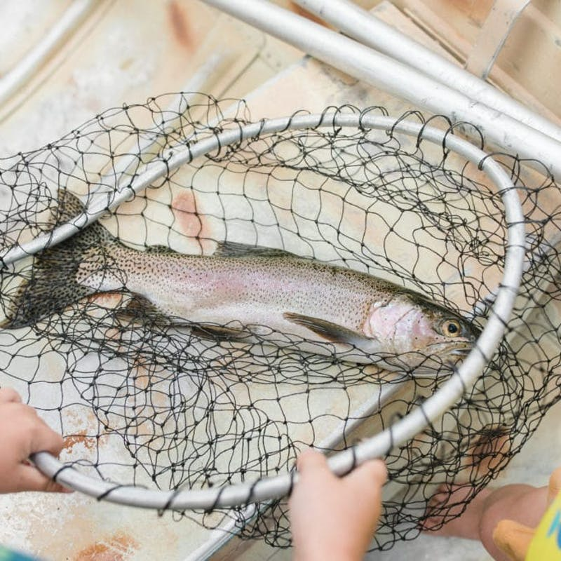 Fresh trout caught in net laying at the bottom of a boat