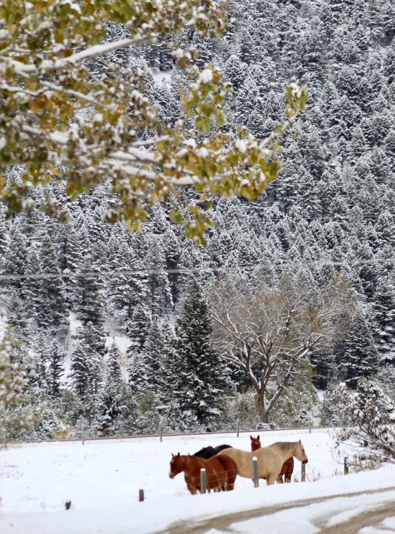 Cluster of horses stands in snow with snowy pine trees in the background