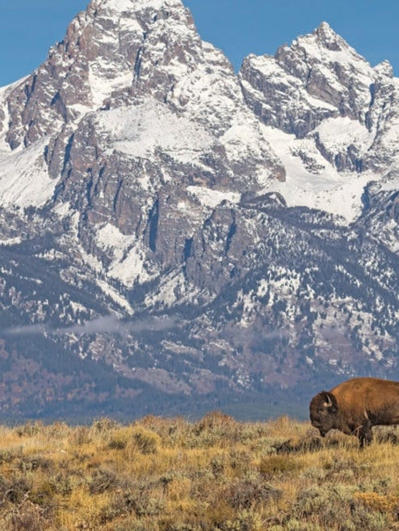 Bison in field with snowy Teton peaks in the background at Grand Teton National Park.