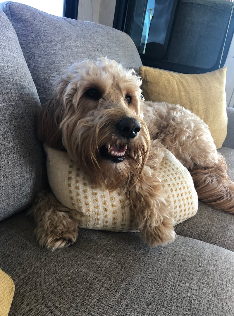 A smiling goldendoodle dog on an RV couch.