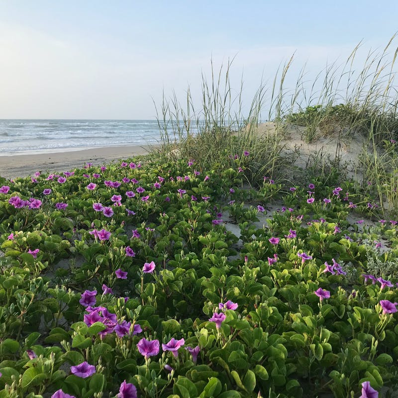 Purple flowers and green grasses on sandy beach with small ocean waves